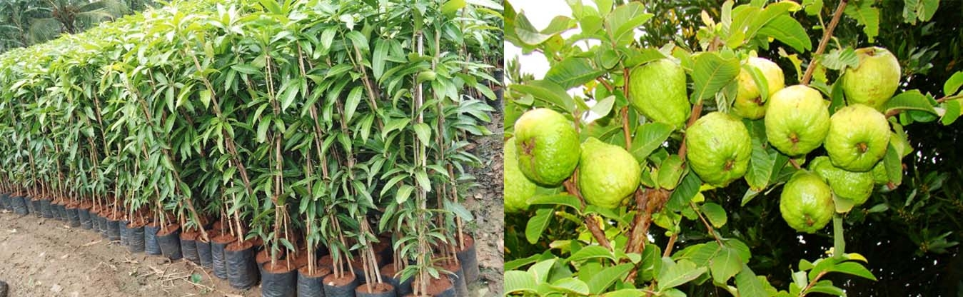 Jameel Nursery Plant Fruit